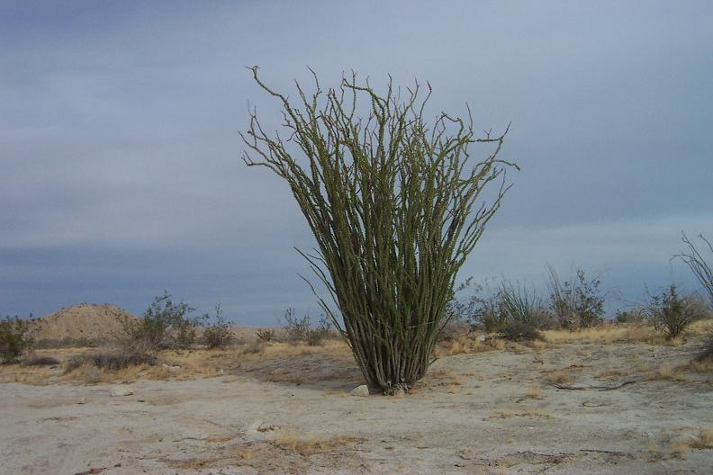Ocotillo plant in the desert, there is life!